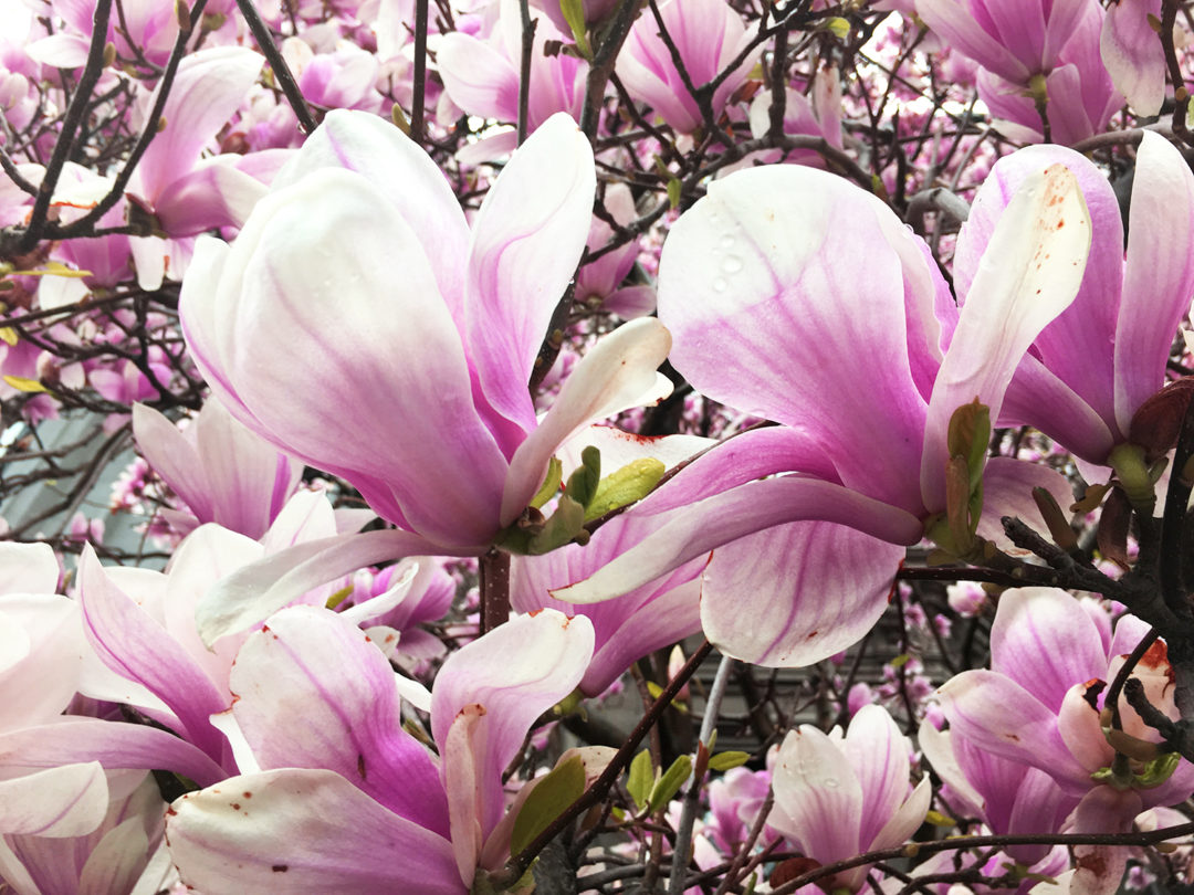 Magnolien Boston